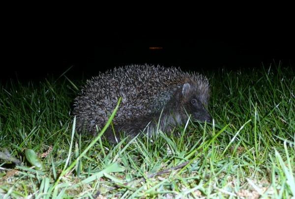 hedgehog by quattro