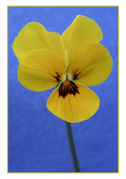 Yellow Viola.. by ironman