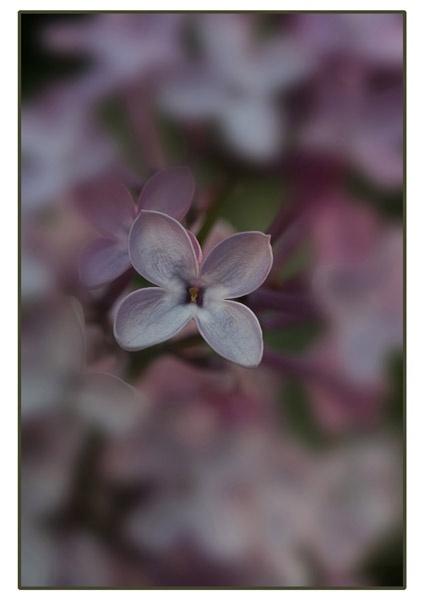 Hydrangea by ironman