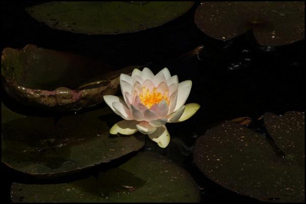 floating flower by alianar