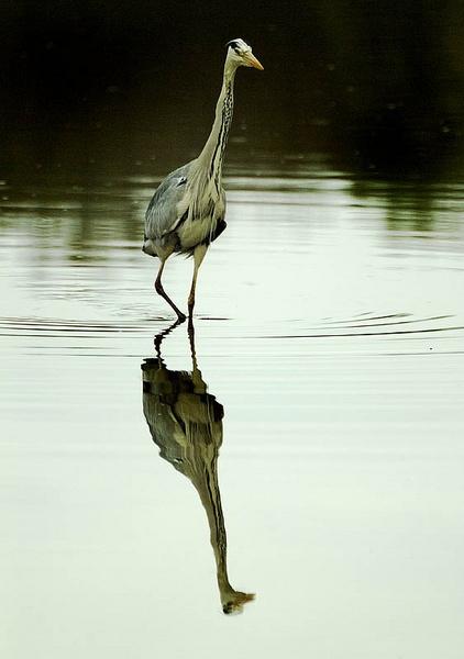 Grey Heron by icphoto