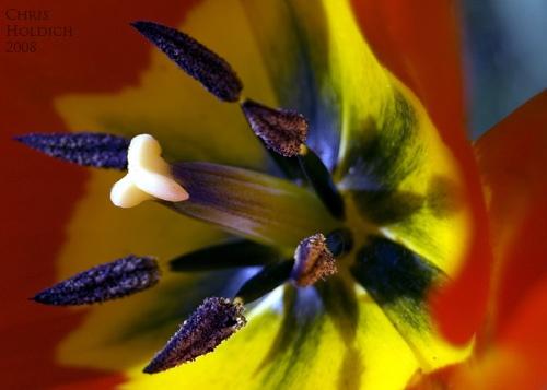 Tulip by nikonhammer