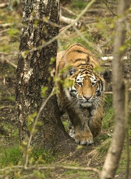 Amur tiger cub by Vince_S