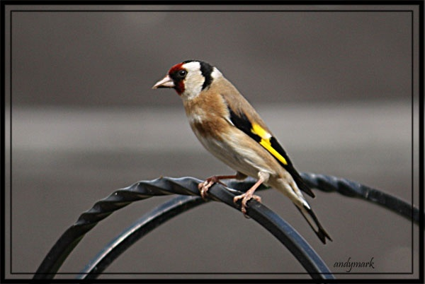 a gold finch by andymark