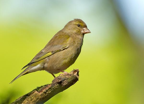 Finch by Clint123
