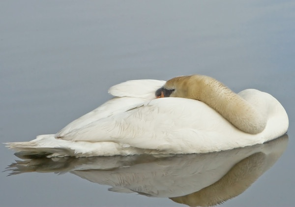 SLEEPING SWAN by poweltown