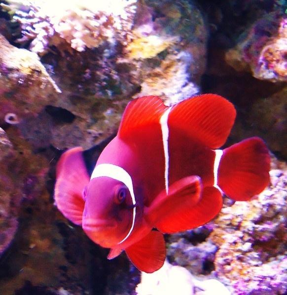 clown fish by catherinekp79