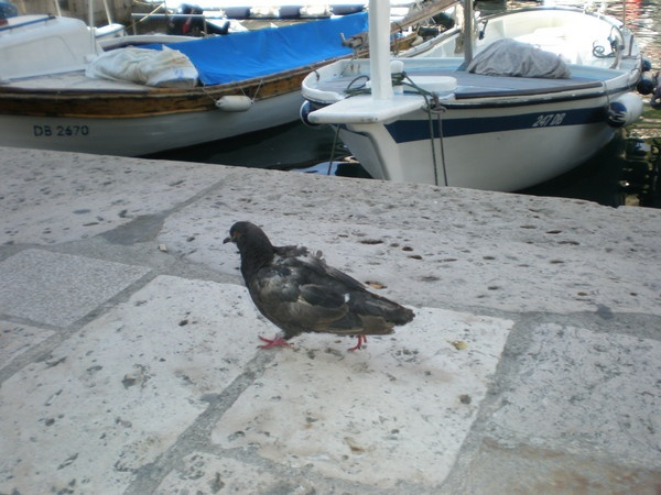 Busy pigeon by Virna