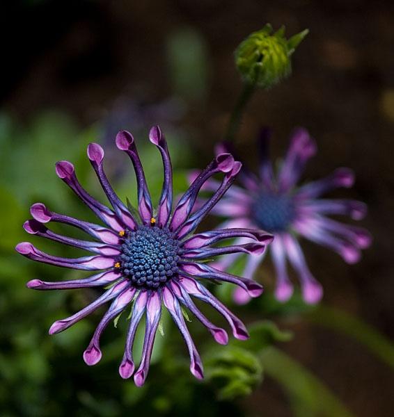 African Daisy by pfairhurst
