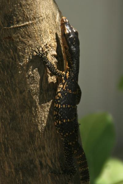 Thai Lizard by colin