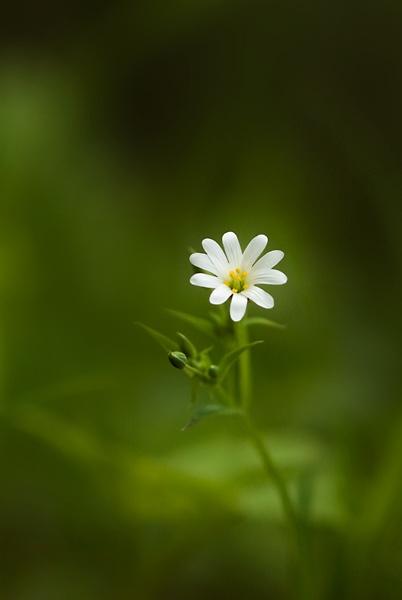 Stitchwort by Bexphoto