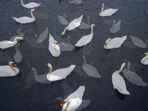 Swans in Gharashmish by kombizz