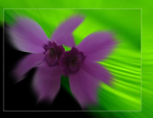 Orchid Blur by danvan