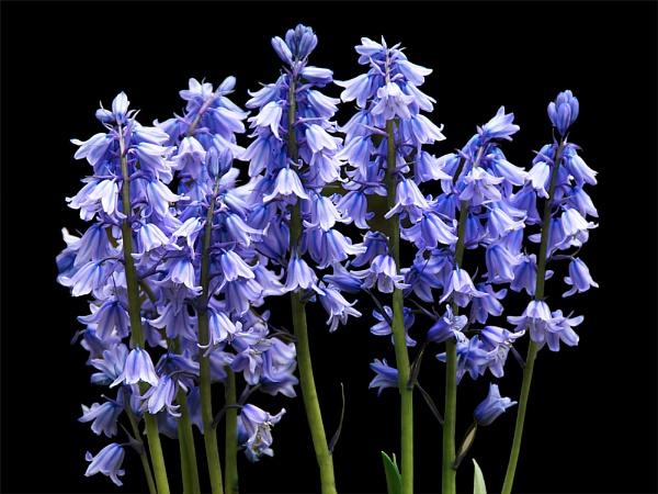 Bluebells by BarbaraB