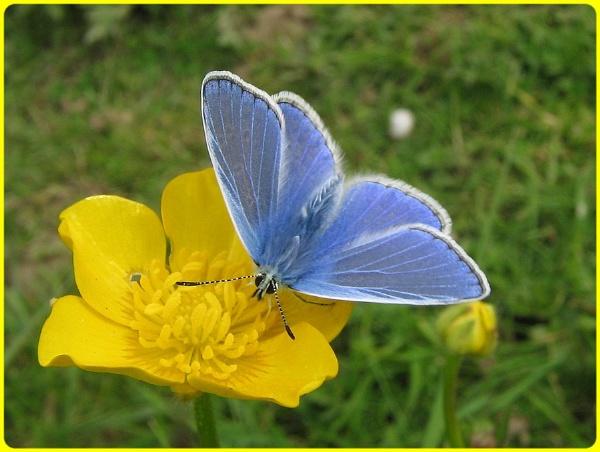 Blue on Buttercup by Glostopcat