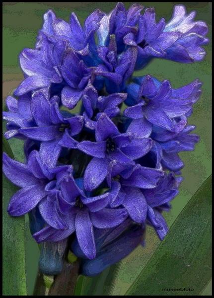 hyacinths by museebfoto