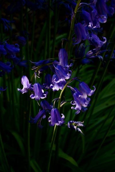 Bluebells by morpheus1955