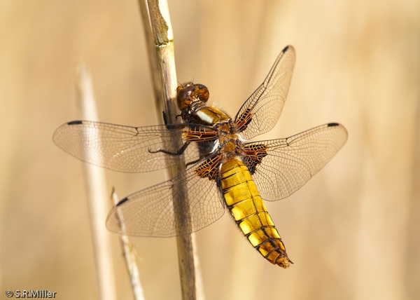 Broad-Bodied Chaser dragonfly by mille19