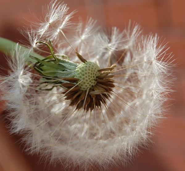 dandelion by theroadruner