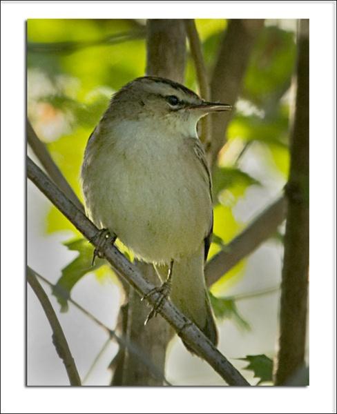 Sedge Warbler by Dinney