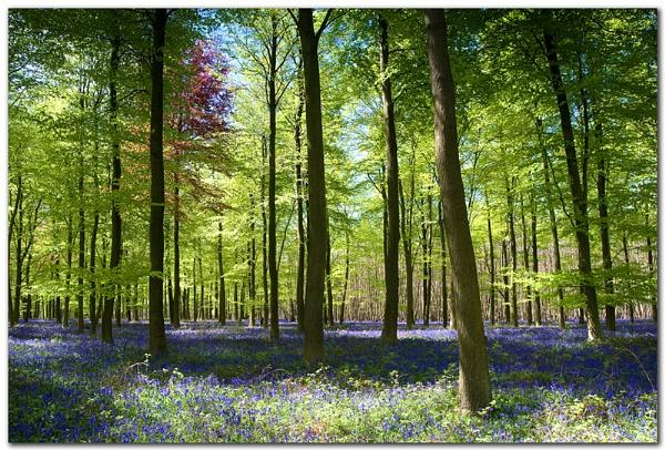 Kingswood Bluebells by SugarDJ