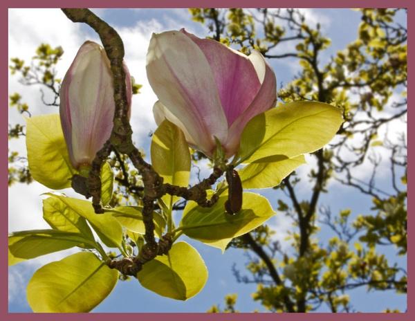 Magnolia by sharlotte51
