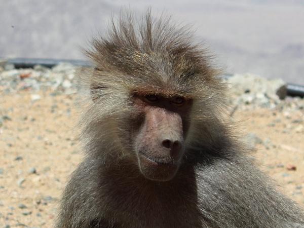 Wild Baboon by WorldInFocus