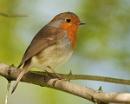 Mr Robin by shandoor