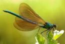 Damsel Fly by shandoor
