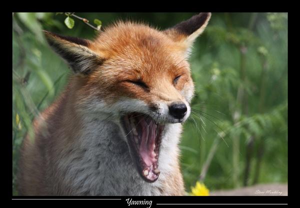 Yawning!!! by SteveMoulding