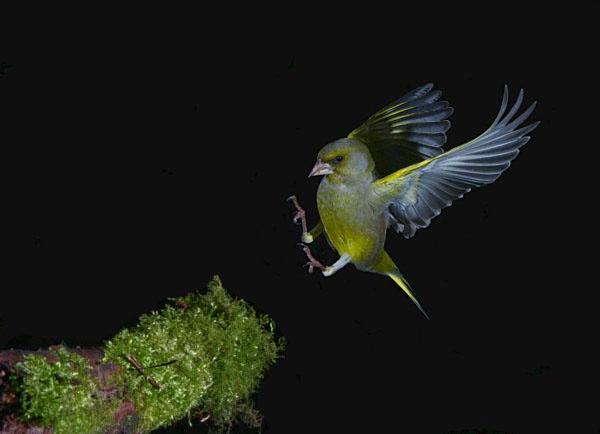 Greenfinch by 64Peteschoice