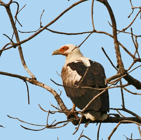 I\'m a Palmnut Vulture by wideangler