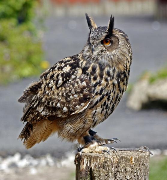 EAGLE OWL by JOKEN