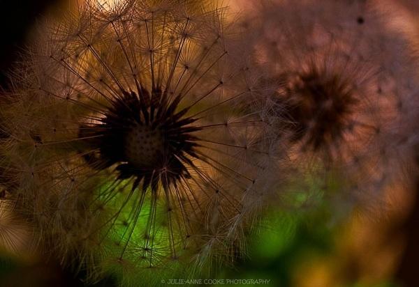 Dandelion II by jools59