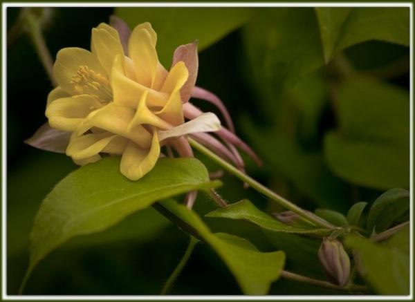 Aqualegia yellow/pink by Davebozy