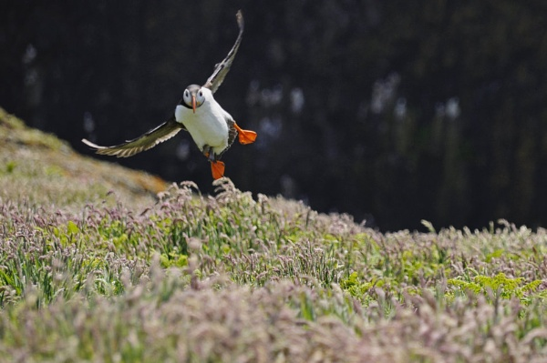 Puffin final approach @ Skomer 27 by Merbert