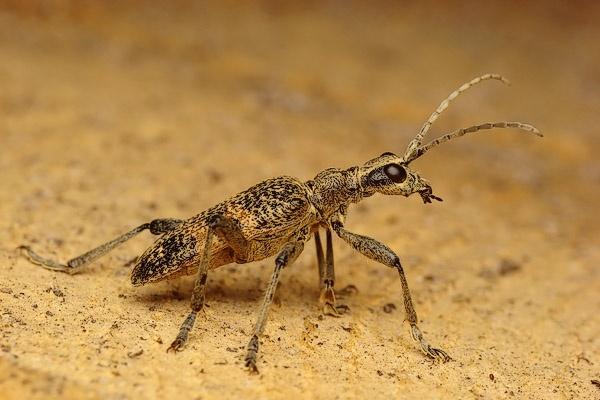Long-horn beetle by Benas