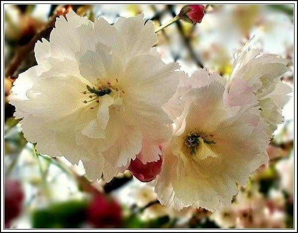 Cherry Blossom by catherinekp79