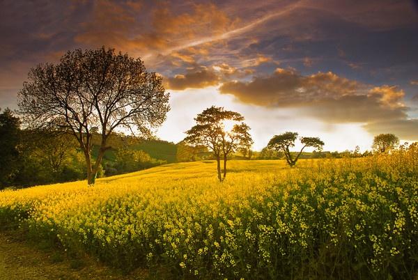 Golden Harvest by SamCampbell