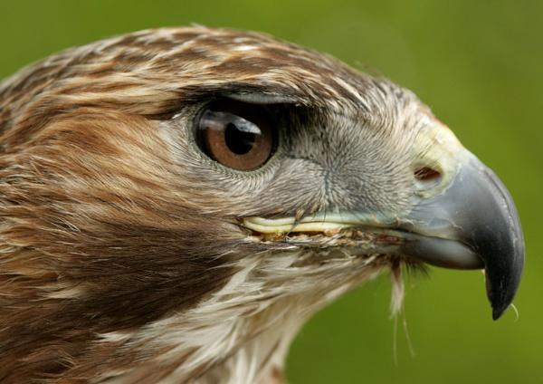 Eagle by wattley