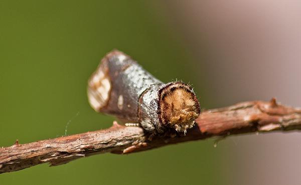 Buff Tip Moth by Rachel81