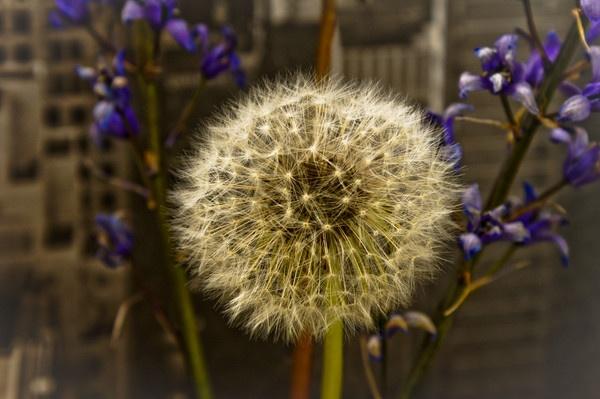 Dandelion by stevec85