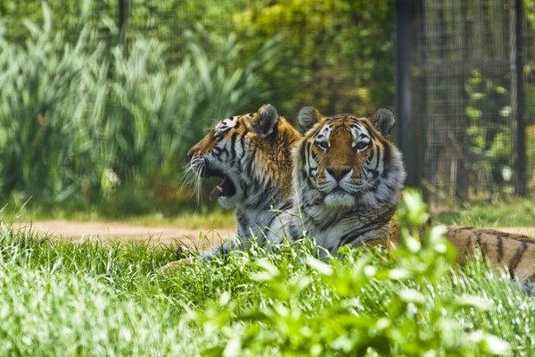 Two Tigers by Arag