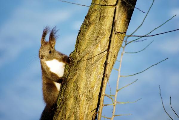 Squirrel by gabriel_flr