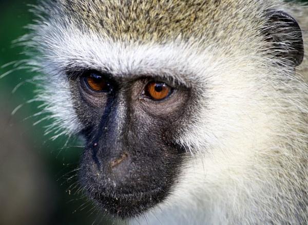 Vervet monkey by tamasalucy