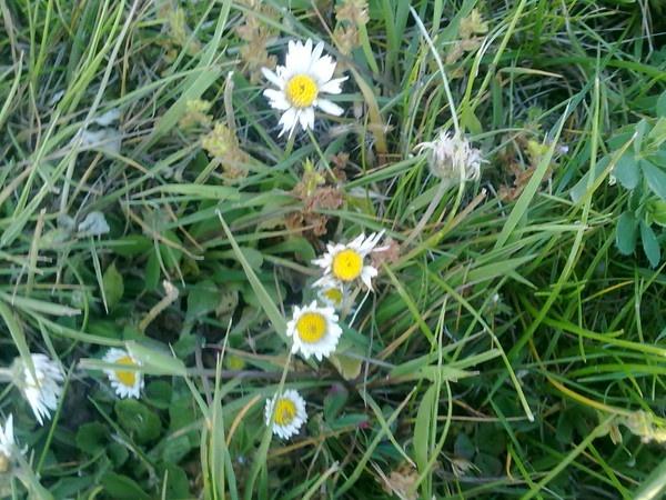 Daisy Daisy by Lilin