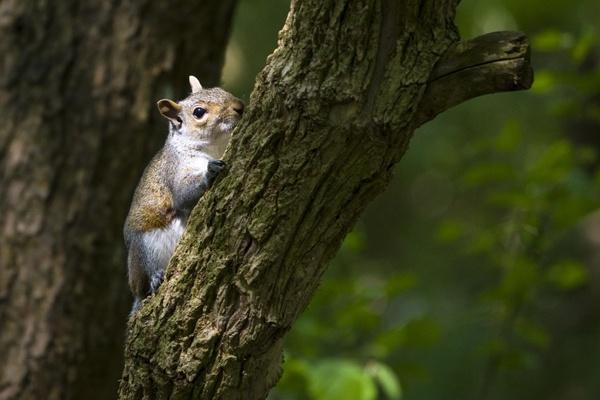 Squirrel by Skatershrew