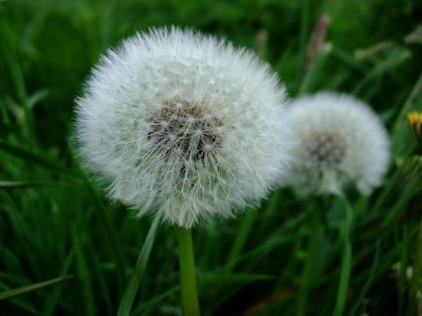 dandelions by betttynoir