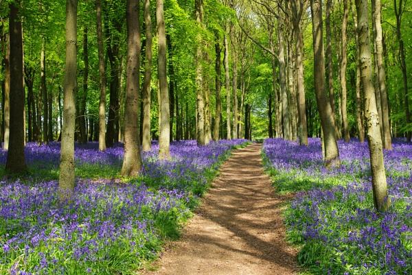 Bluebell Woods by mark2uk