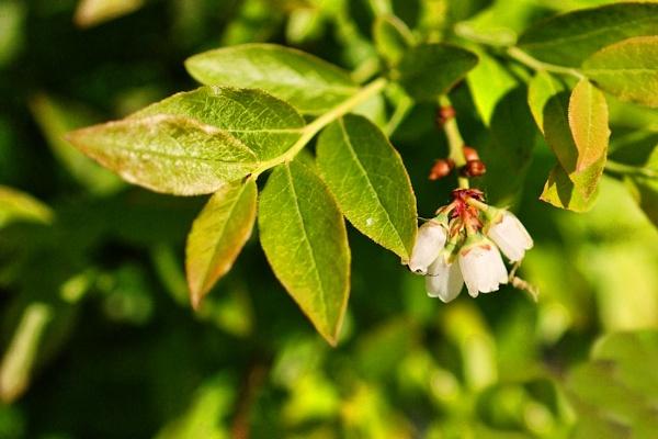 Blue Berry Blossom by Joline